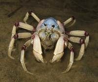 solidercrab