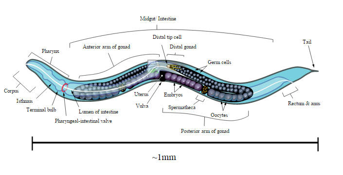 A worms mind in a lego body celegans ccuart Choice Image